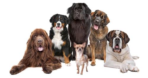 7 groupes de chiens selon le CKC