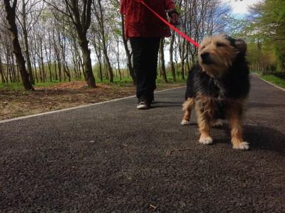 Marcheur de chiens à Gatineau