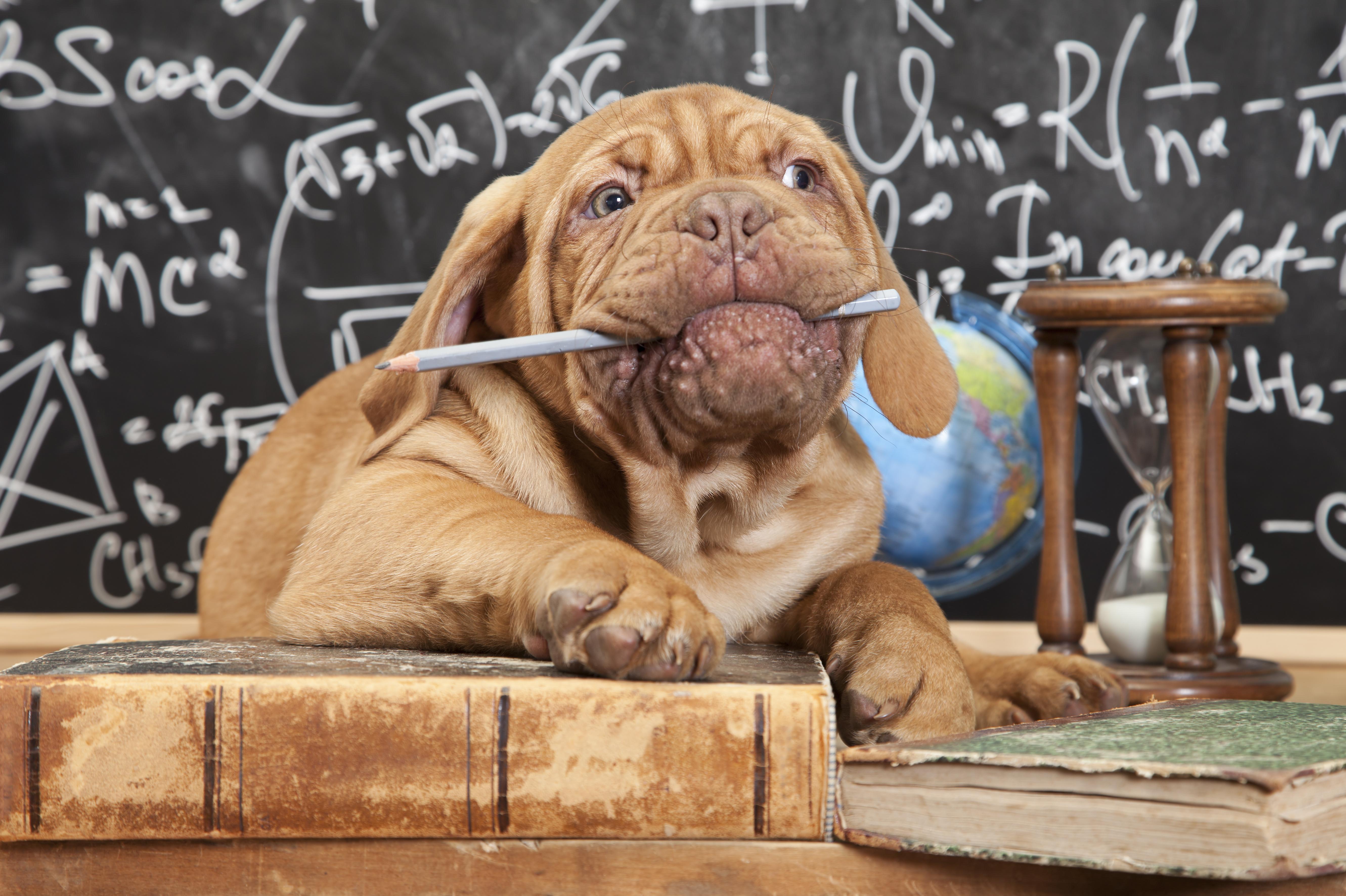Dressage/entraînement de chiens à Gatineau