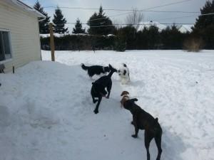 Pension et garderie pour chiens à Gatineau - Chiens jouent ensemble